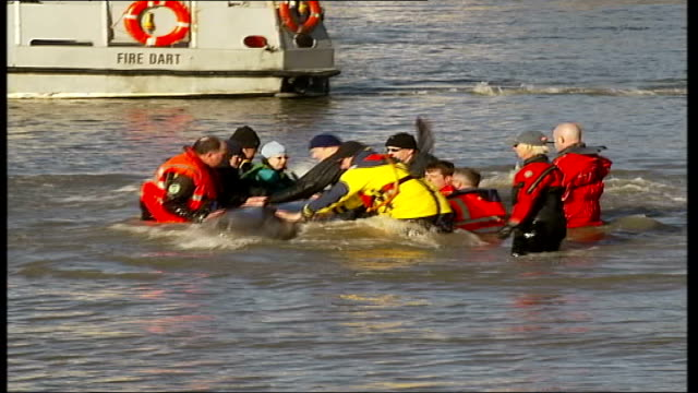 river thames whale dies; england: london: ext northern bottle-nosed whale surfacing cbv people looking on whale surfacing rescue workers holding onto... - surfacing stock videos & royalty-free footage