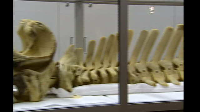 river thames whale: skeleton goes on display; england: london: int general views of skeleton of the northern bottlenose whale which swam up the river... - bottle nosed dolphin stock videos & royalty-free footage