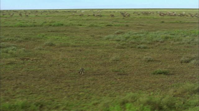 vídeos y material grabado en eventos de stock de low aerial, ts, animals running across savannah, serengeti national park, tanzania - tanzania