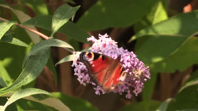 vídeos de stock, filmes e b-roll de sir david attenborough launches big butterfly count england london barnes london wetlands centre ext close shot of butterfly on flowers red admiral/... - borboleta pavão