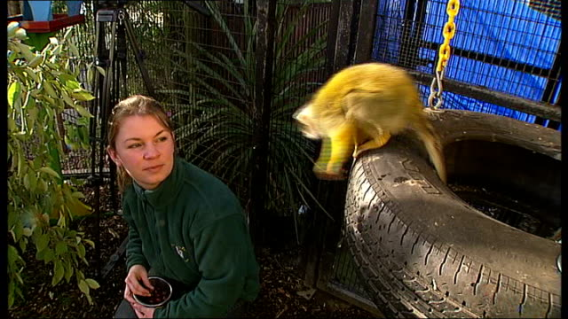 spongebob squirrel monkey problems at battersea park zoo spongebob in his enclosure catherine feeding spongebob spongebob sitting on tyre swing eating - tyre swing stock videos & royalty-free footage