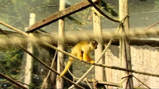 'spongebob' the squirrel monkey: progress update; chessington world of adventures: lisa brotton interview sot cutaways squirrel monkeys in cage... - battersea park stock videos & royalty-free footage