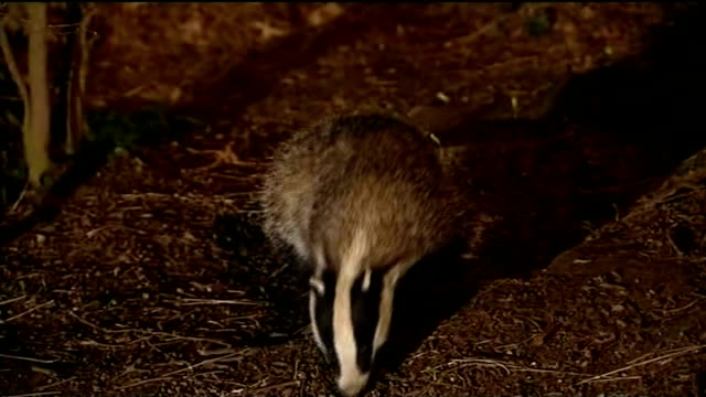 two badger culling trials given go-ahead in south west england; r27020806 / 27.2.2008 england: ext / night badger foraging in undergrowth - foraging stock videos & royalty-free footage