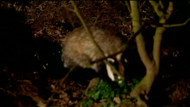 two badger culling trials given go-ahead in south west england; r27020806 / 27.2.2008 location unknown: ext / night badger foraging in undergrowth... - foraging stock videos & royalty-free footage