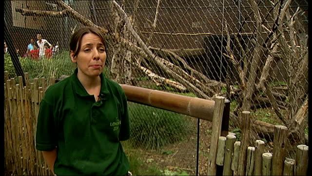 two mangabey monkeys arrive at london zoo various shots western lowland gorillas in enclosure sumatran tigaer in enclosure andrea dempsey interview... - enclosure stock videos & royalty-free footage