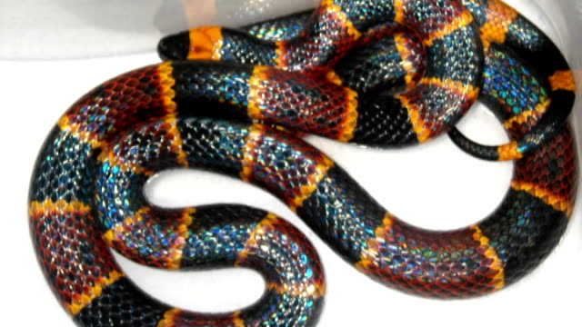 venomous snake on loose in ilford; coral snake - itv london tonight weekend stock videos & royalty-free footage