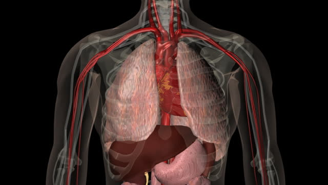 animated clip showing human respiratory system - inhaling stock-videos und b-roll-filmmaterial