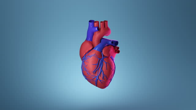 animated illustration of beating human heart. - aorta stock videos & royalty-free footage