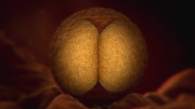 Animated sequence showing cells in a fertilised egg dividing.
