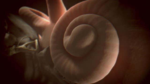 vídeos de stock e filmes b-roll de animated sequence showing the cochlea and the anvil and stirrup bones in the human ear. - aparelho auditivo