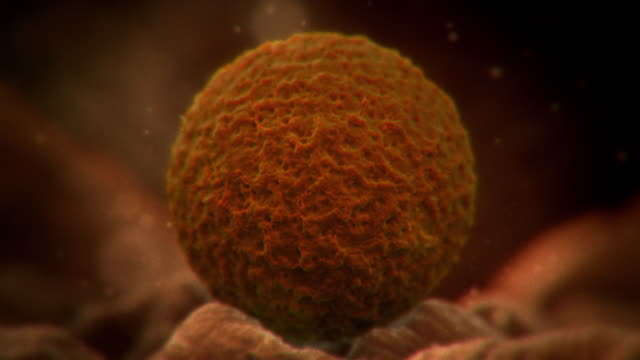Animated shot of a fertilised egg in the fallopian tube.