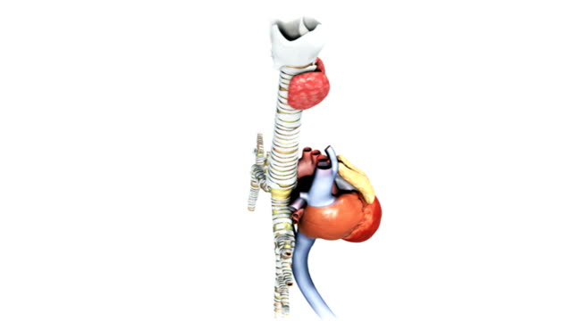 animation depicting a 360 degree rotation of the anatomy of the heart, thymus and bronchus. - thyroid gland stock videos & royalty-free footage