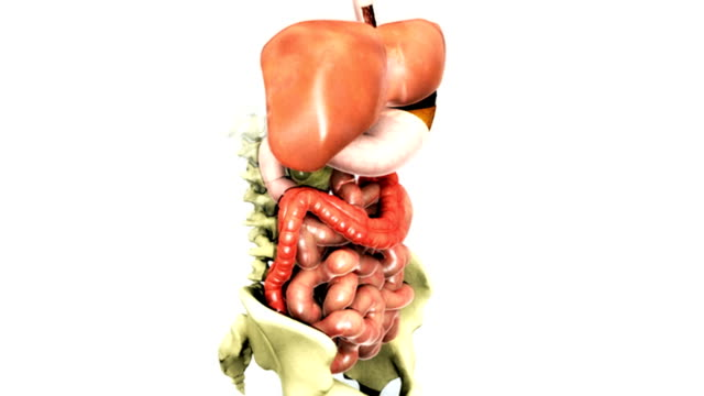vídeos y material grabado en eventos de stock de animation depicting a 360-degree rotation of the gastrointestinal system. the pelvis and lumbar vertebrae are also visible. - pelvis