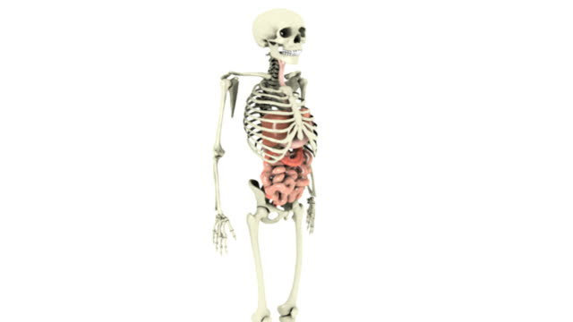 Animation depicting a 360-degree view of the gastrointestinal system within a human skeleton.