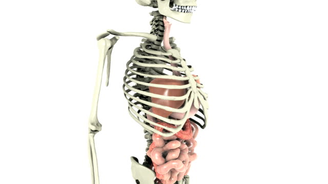animation depicting a 360-degree view of the gastrointestinal system within the human skeleton.  as the skeleton and organs rotate the camera zooms into the organs. - ileum stock videos & royalty-free footage