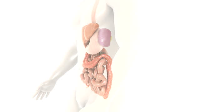 animation depicting a 360-degree view of the gastrointestinal system.  the camera zooms into the liver and all other organs fade down.  the liver then does a full rotation. - ileum stock videos & royalty-free footage