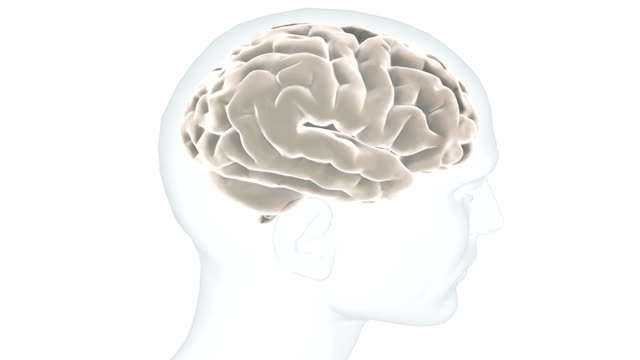 Animation depicting a full rotation of the head and brain. The head is transparent revealing the brain in more detail.