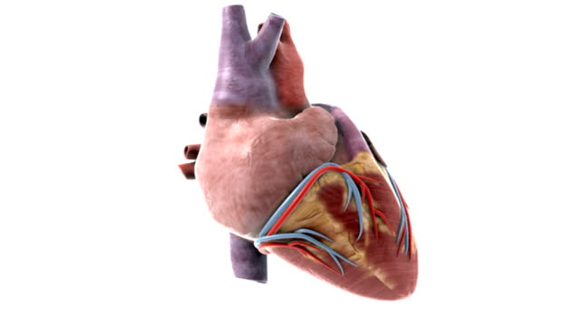 animation depicting a full rotation of the heart. - superior vena cava stock videos & royalty-free footage