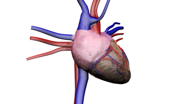 Animation depicting a full rotation of the heart with its connecting veins and arteries.