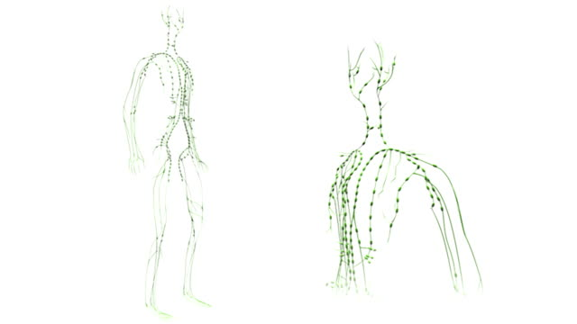 Animation depicting a full rotation of the Lymph System or Lymphoid System of the upper torso and head, a full rotation of the entire Lymph System or Lymphoid system is also visible in the background.
