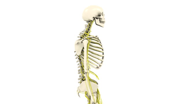animation depicting a half rotation of the upper skeleton and central nervous system. some thoracic vertebrae, with spinal cord and nerves, zoom out as the body dissolves. the vertebrae rotate 180 deg - thoracic vertebrae stock videos & royalty-free footage