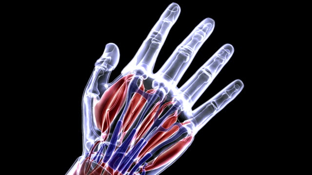 Animation depicting a hand in an X-ray style. The hand rotates as the camera zooms in on the muscles and tendons in the hand.