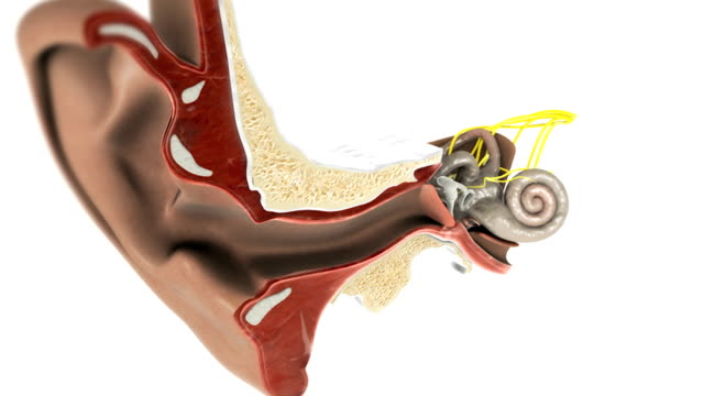 vídeos de stock, filmes e b-roll de animation depicting a pan and zoom through the ear detailing the membranous labyrinth inside. also visible are the auditory ossicles. - anatomia
