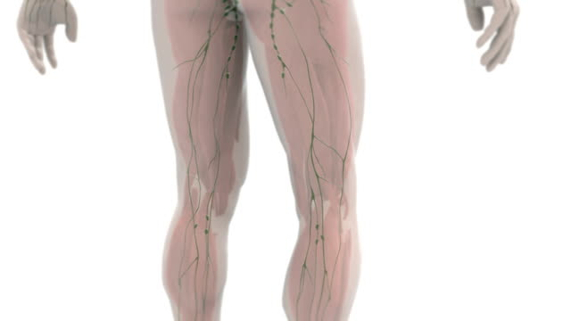 animation depicting a pan-up and quarter rotation around the posterior of the lymphatic system within a semi-transparent human body. - lymphsystem stock-videos und b-roll-filmmaterial