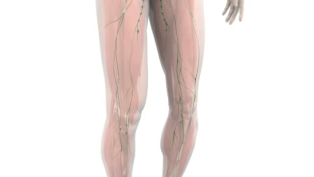 animation depicting a pan-up and quarter rotation of the lymphatic system within a semi-transparent human body. - lymphsystem stock-videos und b-roll-filmmaterial