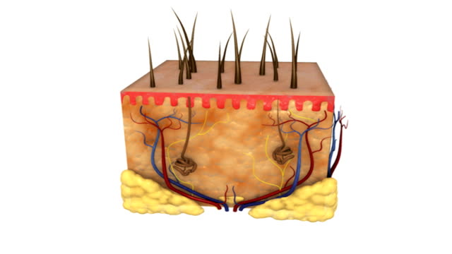 animation depicting a quarter rotation of a cross-section of the skin with hairs. - subcutaneous stock videos and b-roll footage