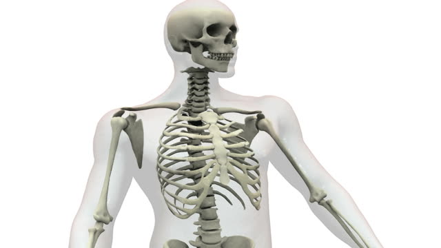 Animation depicting a quarter rotation of  the skeletal system within the body focusing on the upper body.