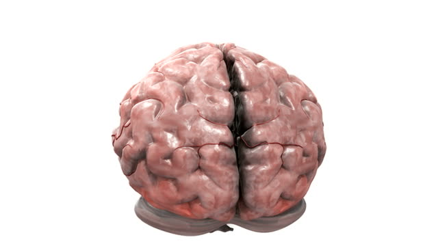animation depicting a rotating brain.  during the rotations the cerebellum and brain stem dissolve revealing the artery system. - midbrain stock videos & royalty-free footage