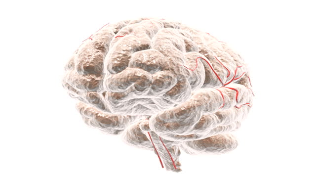 Animation depicting a rotation and sectioning of the brain.  The camera pans from left to right and half the cerebrum fades down to reveal the brains internal anatomy.