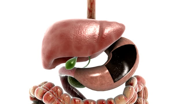 animation depicting a rotation and zoom of the stomach, liver, pancreas and gall bladder from a posterior to an anterior view. - pancreas stock videos & royalty-free footage