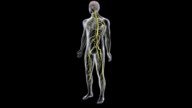 vidéos et rushes de animation depicting a rotation around the central nervous system within an x-ray style human body. - illustration biomédicale