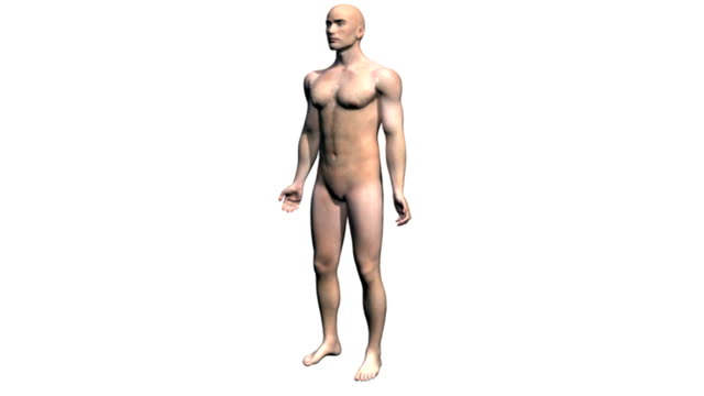 Animation depicting a rotation around the human body showing the muscular and skeletal systems. As the camera rotates around the body the skin fades down to reveal the musculature underneath. This in