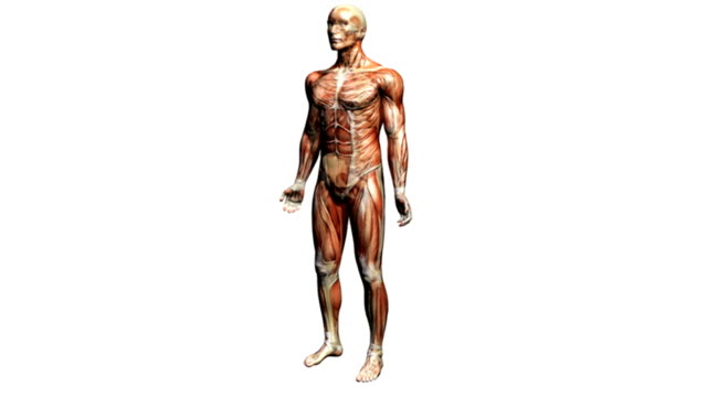 vídeos de stock, filmes e b-roll de animation depicting a rotation around the human body showing the muscular and skeletal systems. as the camera rotates around the body the skeletal system fades up to become more visible. - músculo humano