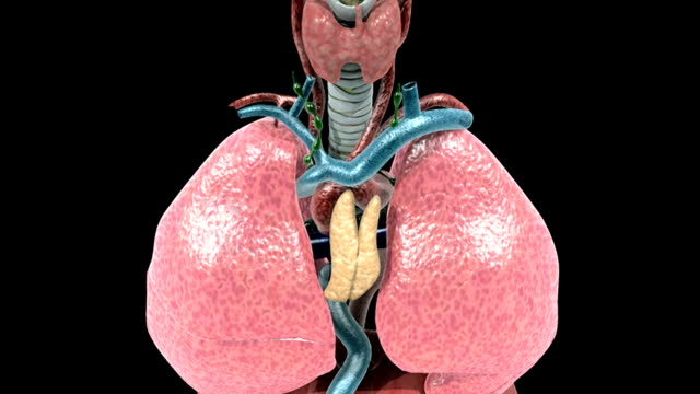 animation depicting a rotation around the respiratory system followed by a zoom through the trachea and into the alveoli. - respiratory system stock videos & royalty-free footage