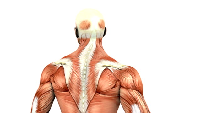 Animation depicting a rotation of male muscular system. The animation begins zoomed in on the thorax, and then zooms out to reveal the full muscular system.
