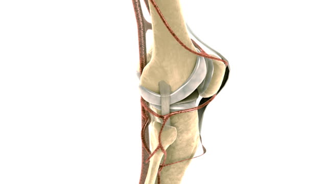 vídeos de stock, filmes e b-roll de animation depicting a rotation of the anatomy of the knee joint. - tíbia osso da perna