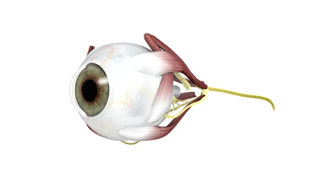 animation depicting a rotation of the exterior of the eye, showing the musculature and nerves. - anatomy stock videos & royalty-free footage