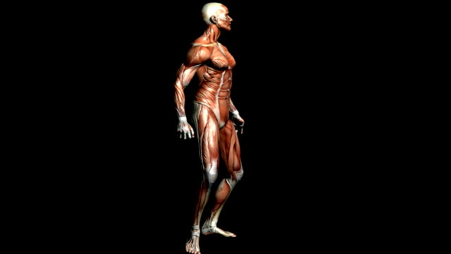 animation depicting a rotation of the male muscular system on a black background. - biomedizinische illustration stock-videos und b-roll-filmmaterial