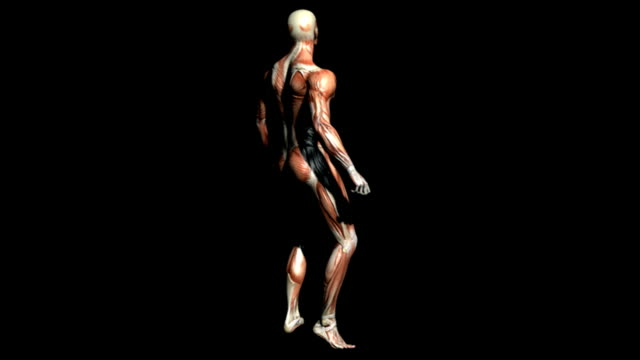 Animation depicting a rotation of the male muscular system. The camera then zooms in on the thorax showing the muscle groups of the upper body in more detail.