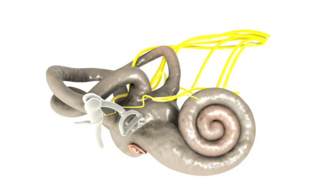 Animation depicting a rotation of the membranous labyrinth on the inside of the inner ear.