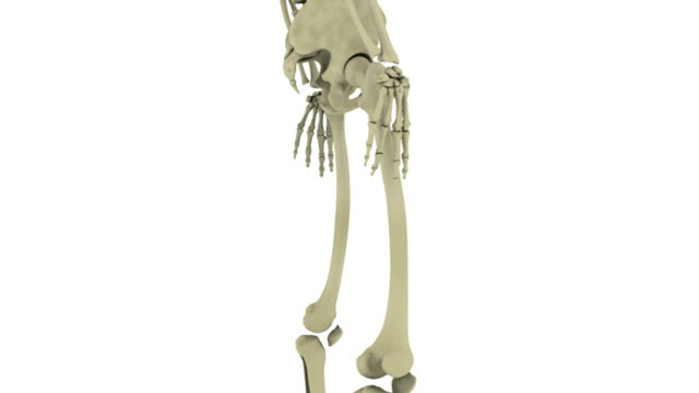 Animation depicting a rotation of the skeletal system. The camera pans up the body as it rotates and then zooms out to reveal the full skeletal system.