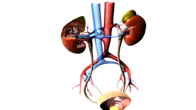 stockvideo's en b-roll-footage met animation depicting a rotation of the urinary system, with a zoom in on a sectioned right kidney. - human kidney