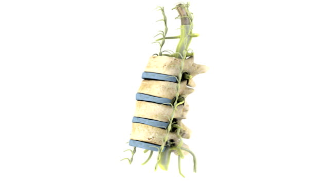 animation depicting a section of the spine, showing vertebrae, nerves and spinal cord. the camera moves through 180 degrees as it zooms into the top of the section. - physiologie stock-videos und b-roll-filmmaterial