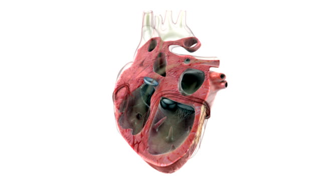 animation depicting a sectioned beating heart.  the camera pans from right to left showing the valves of the heart functioning. - ventricolo cardiaco video stock e b–roll