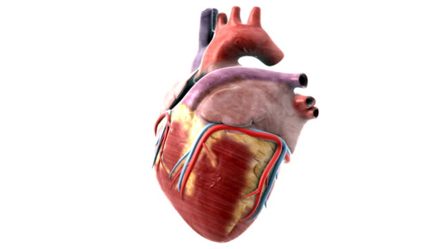 animation depicting a single heartbeat. this animation is intended to be used as a loopable animation. - superior vena cava stock videos & royalty-free footage