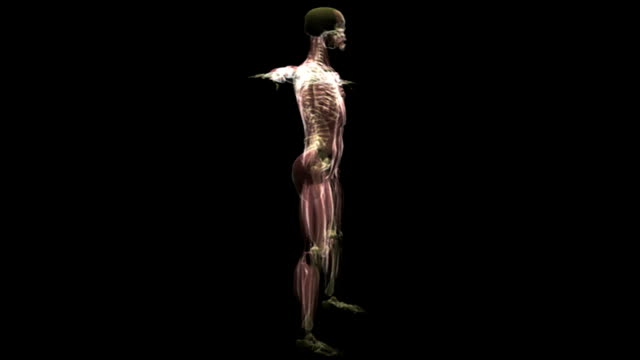 animation depicting an x-ray rotation of the musculoskeletal system. the transparent skin layer fades down further at the start to make the underlying musculoskeletal layer clearly visible. - メディカルイラスト点の映像素材/bロール
